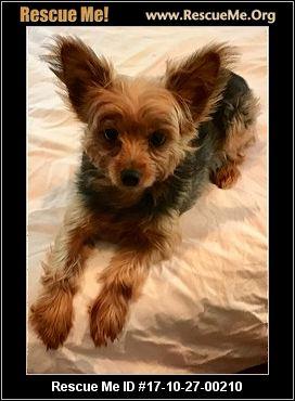 North Carolina Yorkie Rescue ― Adoptions ― Rescueme Org