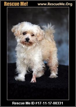 maltese rescue california california maltese rescue adoptions rescueme org 7518