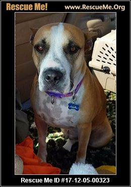 dallas bulldog rescue texas american bulldog rescue adoptions rescueme org 1802