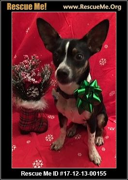 Texas Rat Terrier Rescue ― Adoptions ― Rescueme Org