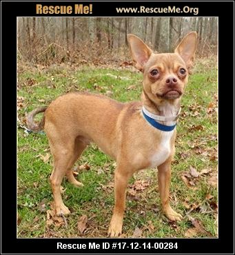 chihuahua rescue ct connecticut chihuahua rescue adoptions rescueme org 5940