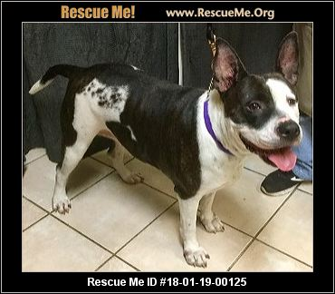 bulldog rescue az arizona bulldog rescue adoptions rescueme org 4618