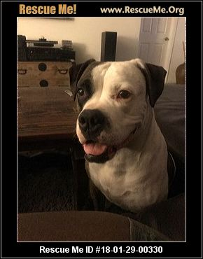 bulldog rescue az arizona american bulldog rescue adoptions rescueme org 884