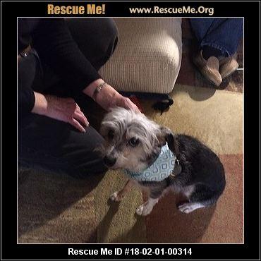 Senior Poodle Mix Dogs For Adoption Arizona