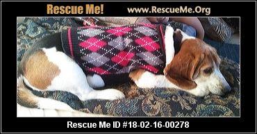 Texas Beagle Rescue ― Adoptions ― Rescueme Org