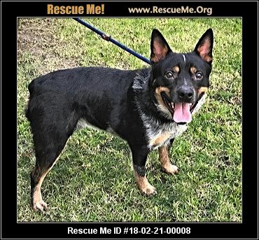 California Australian Cattle Dog Rescue Adoptions Rescue Me