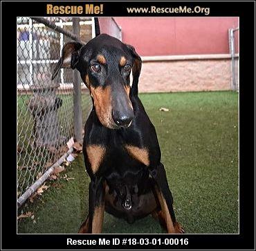 Texas Doberman Pinscher Rescue ― Adoptions ― Rescueme Org