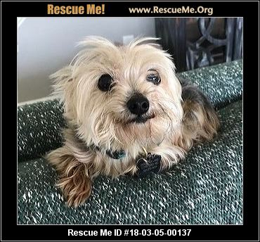 yorkie for adoption in nc north carolina yorkie rescue adoptions rescueme org 5461