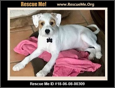 collier jack russel