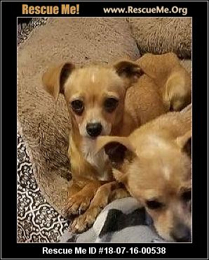 chihuahua rescue wisconsin wisconsin chihuahua rescue adoptions rescue me 4640