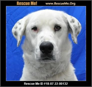 Add To Favorites 18 07 22 00132d099sansa F Female Id 14731 Great Pyrenees Mix