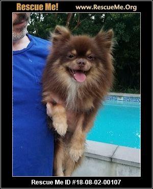 Texas Pomeranian Rescue - ADOPTIONS - Rescue Me!