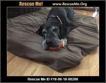 Texas Great Dane Rescue Adoptions Rescue Me