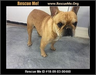 bulldog rescue az arizona french bulldog rescue adoptions rescue me 6064