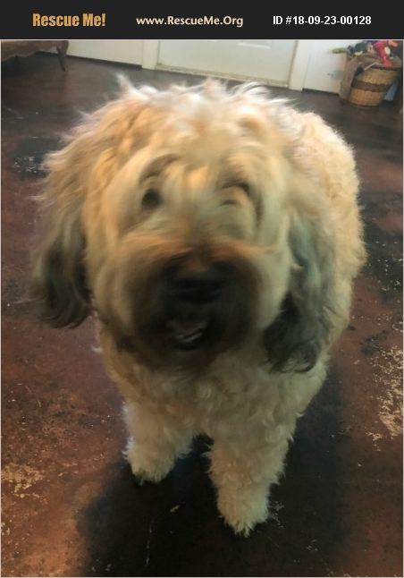 Adopt 18092300128 Soft Coated Wheaten Terrier Rescue Naples Fl
