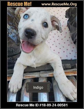 Colorado Great Dane Rescue Adoptions Rescue Me