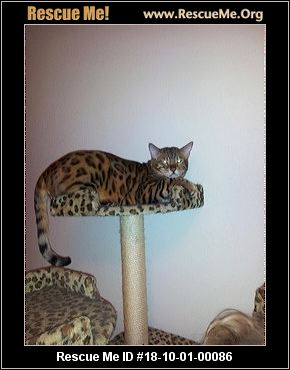 - Colorado Cat Rescue - ADOPTIONS - Rescue Me! Bengal Cat Denver Co