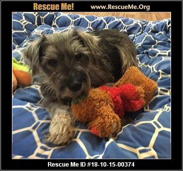Florida Schnauzer Rescue - ADOPTIONS - Rescue Me!