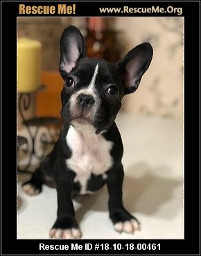 bulldog rescue az arizona french bulldog rescue adoptions rescue me 457