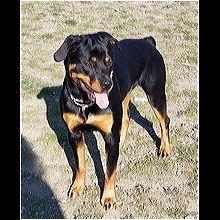Ohio Rottweiler Rescue Adoptions Rescue Me