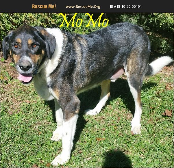 ADOPT 18103000191 ~ Greater Swiss Mountain Dog Rescue ...