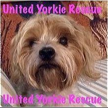 Pennsylvania Yorkie Rescue Adoptions Rescue Me