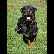 Indiana Rottweiler Rescue Adoptions Rescue Me
