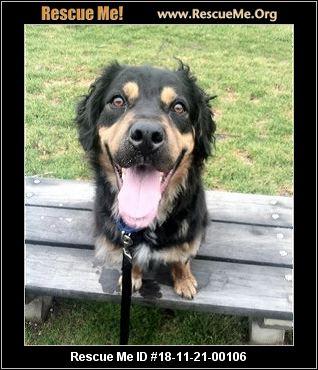 New York Bernese Mountain Dog Rescue Adoptions Rescue Me