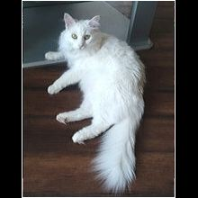 Texas Maine Coon Rescue - ADOPTIONS - Rescue Me!