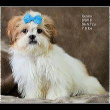 Washington Shih Tzu Rescue Adoptions Rescue Me