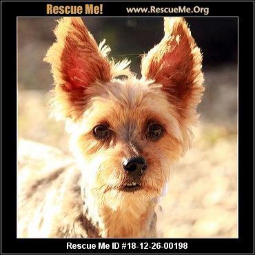 Texas Yorkie Rescue Adoptions Rescue Me