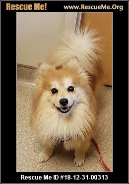 Pennsylvania Pomeranian Rescue Adoptions Rescue Me