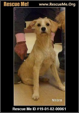 New Jersey Norfolk Terrier Rescue Adoptions Rescue Me