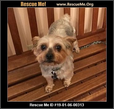 Ohio Yorkie Rescue Adoptions Rescue Me