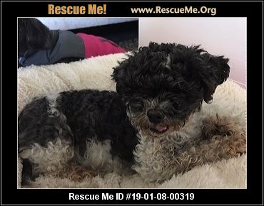Arizona Shih Tzu Rescue Adoptions Rescue Me