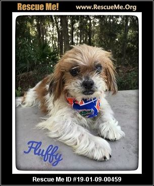 Florida Shih Tzu Rescue Adoptions Rescue Me