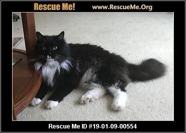 Virginia Maine Coon Rescue Adoptions Rescue Me