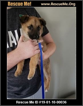 Indiana German Shepherd Rescue Adoptions Rescue Me