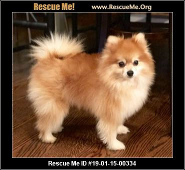 Georgia Pomeranian Rescue Adoptions Rescue Me