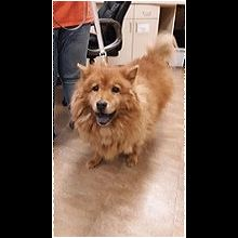 Chow Chow Rescue Adoptions
