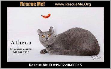 California Russian Blue Rescue Adoptions Rescue Me