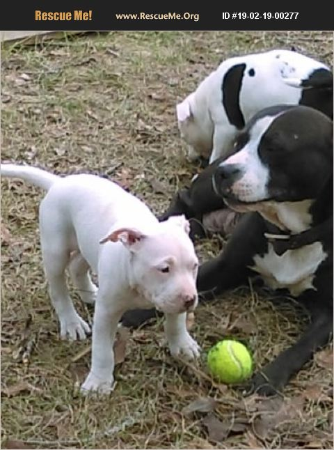 ADOPT 19021900277 ~ American Staffordshire Terrier Rescue ...