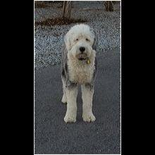 Old English Sheepdog Rescue ― ADOPTIONS