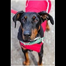 Texas Doberman Pinscher Rescue - ADOPTIONS - Rescue Me!