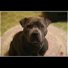 Minnesota Pit Bull Rescue - ADOPTIONS - Rescue Me!