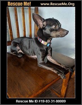 California Miniature Pinscher Rescue Adoptions Rescue Me