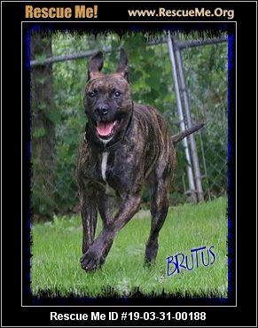 Pennsylvania Pit Bull Rescue Adoptions Rescue Me