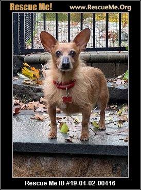 New York Dachshund Rescue Adoptions Rescue Me