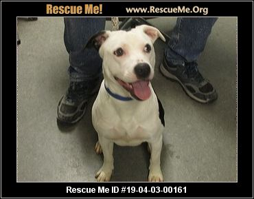 Indiana Pit Bull Rescue Adoptions Rescue Me