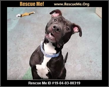 New York Pit Bull Rescue Adoptions Rescue Me